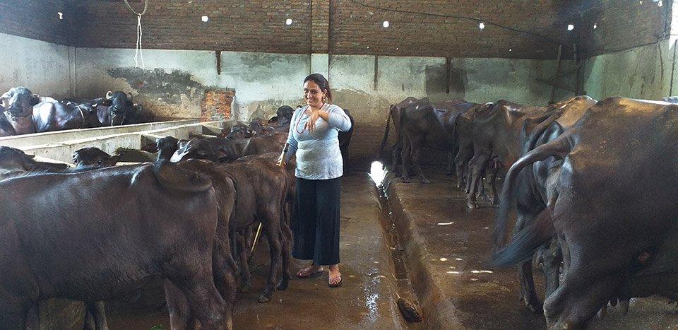 चार करोड लगानीमा सामुहिक भैंसी पालन, दैनिक आठसय लिटर दूध