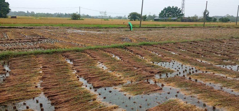 धान भित्र्याउनै लाग्दा परेको पानीले किसान पीडामा